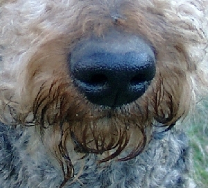 Nase des Airedale-Terriers Anton
